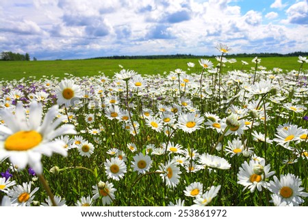 the  blossoming summer meadow with flowers of camomiles - stock photo
