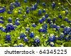 The blue bonnets in Texas add a wonderful blue color to many country roads. - stock photo