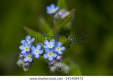 The blue forest flower