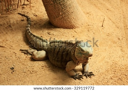 The blue iguana (Cyclura lewisi), also known as the Grand Cayman iguana, Grand Cayman blue iguana or Cayman Island blue iguana - stock photo
