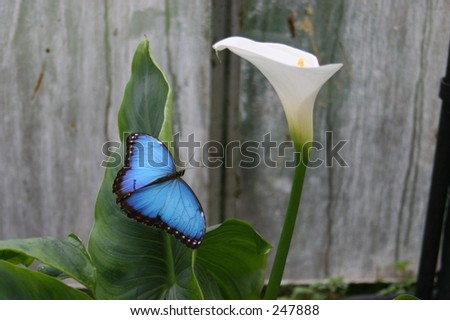The Blue Morpho butterfly - stock photo