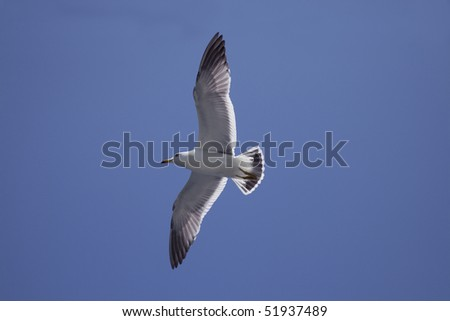 The blue sky and black-tailed gull