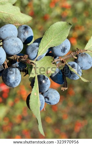 The blue sloe (Prunus spinosa) fruit of the autumn forest. - stock photo