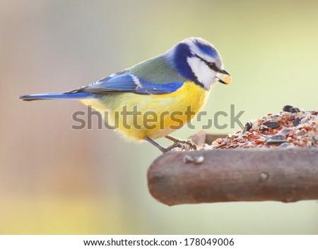 The Blue Tit (Cyanistes caeruleus) on a bird table.  - stock photo