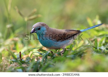 The blue waxbill (Uraeginthus angolensis), called blue-breasted cordon-bleu sitting in green grass - stock photo