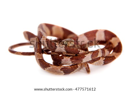 The blunthead tree snake on white