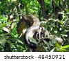 The Boa constrictor (Boa constrictor) is a large, heavy-bodied species of snake. It is a member of the Boidae family found in Central America, South America and some islands in the Caribbean - stock photo