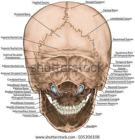 Bones Cranium Skull Anatomical Construction Bones Stock ...