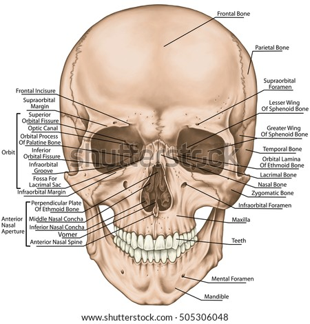 Diagram Of Skull And Nasal Cavity Wiring Diagram For Light Switch