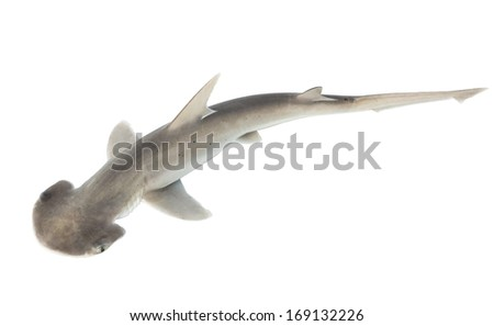 The bonnethead shark or shovelhead, Sphyrna tiburo, top view. Isolated on white background