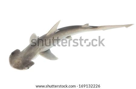 The bonnethead shark or shovelhead, Sphyrna tiburo, top view. Isolated on white background - stock photo