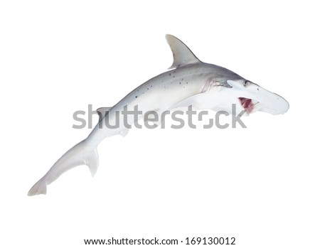 The bonnethead shark or shovelhead, Sphyrna tiburo, with open mouth. Isolated on white background - stock photo