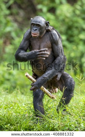 The Bonobo ( Pan paniscus)  mother with cub standing on her legs and hand up. ?ub  on a back at Mother.  Short distance, close up. Democratic Republic of Congo. Africa  - stock photo