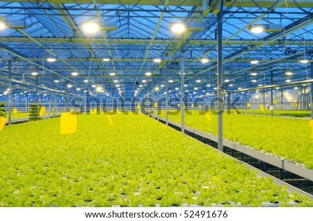 The border of bunching lettuce in glasshouse - stock photo