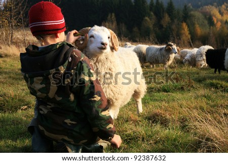The boy is feeding sheep on the meadow by sunset. Skudde - the most primitive and smallest sheep breed in Europe on the field in Pasterka village in Poland. - stock photo