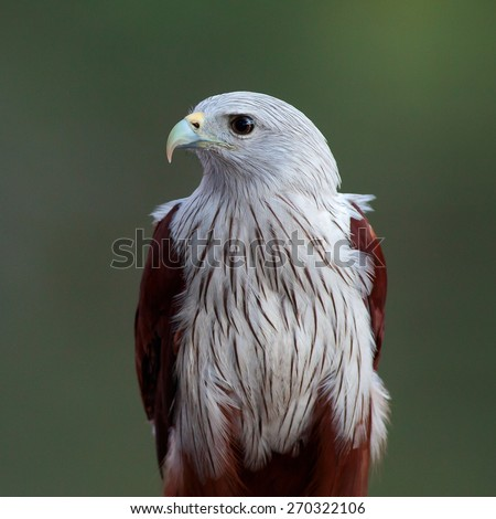 The brahminy kite (Haliastur indus) or the red-backed sea-eagle in Thailand, is a medium-sized bird of prey in the family Accipitridae. - stock photo