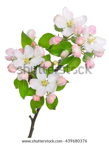 The branch of apple-tree (Malus) on a white background