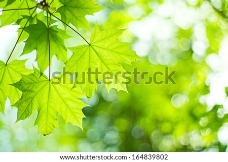 The branch of maple closeup. - stock photo