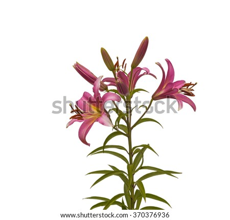 The branch of pink lilies Oriental Hybrids with buds on a white background isolated - stock photo
