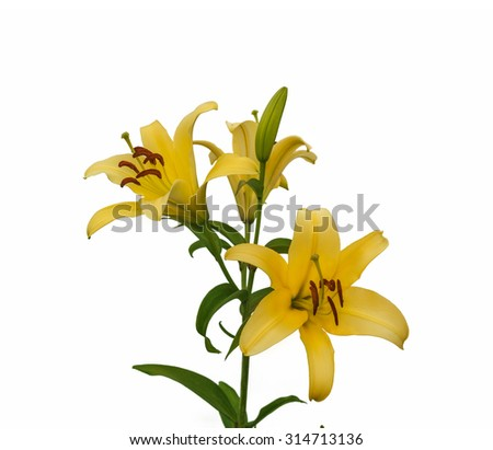 The branch of yellow lilies Oriental Hybrids with buds on a white background isolated - stock photo