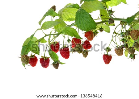 The branches of a raspberry isolated on white background