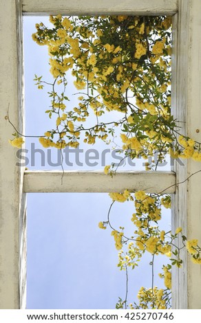 The branches of yellow roses on a background of blue sky - stock photo