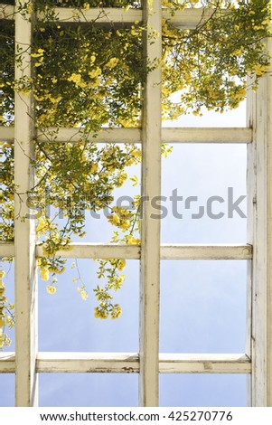 The branches of yellow roses on a background of blue sky and the lattice - stock photo