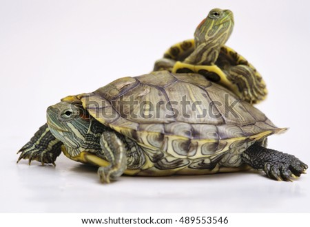 The Brazilian Red eared slider turtles