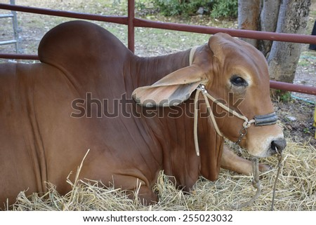 The breed cow - stock photo