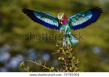 The bright bird sits down on a branch holding in a beak of a cricket. The Bright green background. - stock photo