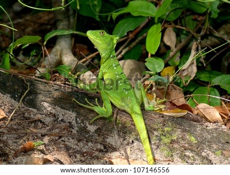 The bright green and blue female Plumed or Green Basilisk, Basiliscus, preparing to run across water to escape predators - stock photo