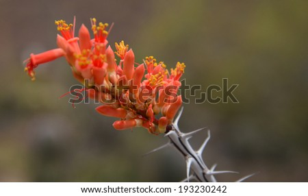 The bright red flowers of the Ocotillo cactus provide a brief splash of color to brighten up the landscape.