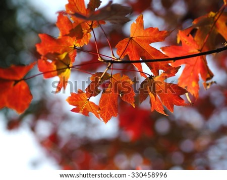 The bright red leaves in autumn