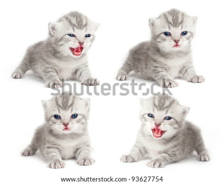 The British kitten - stock photo