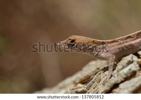 The brown anole (Anolis sagrei) is a lizard native to Cuba and the Bahamas. It has been widely introduced elsewhere, by being sold as a pet lizard - stock photo