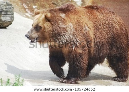 The brown bear close up, wild life