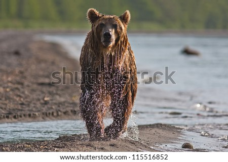 The brown bear fishes in Russia on Kamchatka - stock photo