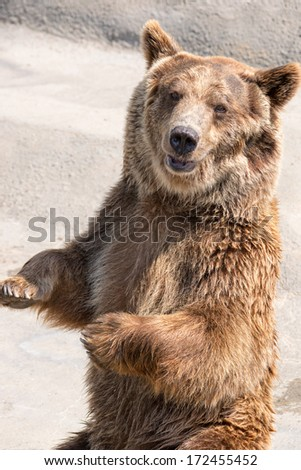 The brown bear (Ursus arctos) is a large bear distributed across much of northern Eurasia and North America. - stock photo