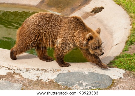 The brown bear walks in a zoo open-air cage - stock photo
