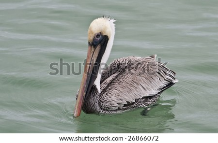 The brown pelican (pelecanus occidentalis) is a sea bird found on both coasts of North America.