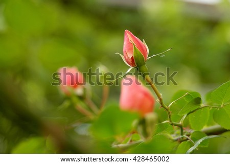 The buds of roses - blur. - stock photo