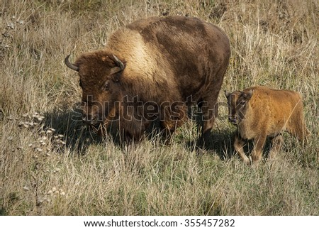 The Buffalo or American bison (Bison bison) with baby. Two American bison walking in the autumn steppe. American bison family. - stock photo