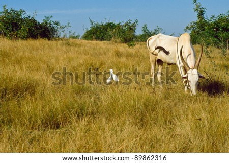 The bull is grazed on a meadow - stock photo