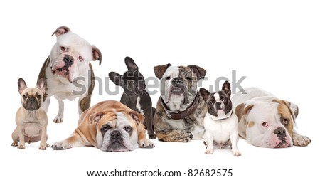 The Bulldog Family.American Bulldog,English Bulldog and French Bulldog - stock photo