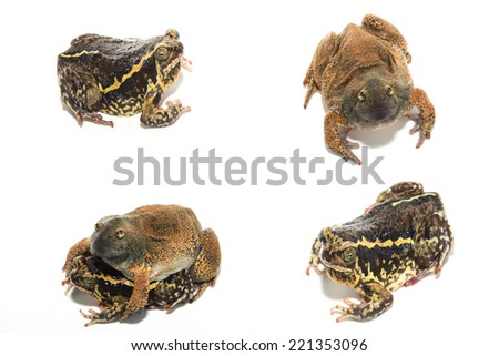 the bullfrog - stock photo