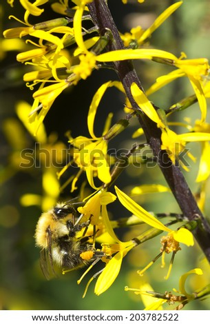 The Bumble bee on yellow flower. Ligularia - genus of perennial herbs, comprising about one hundred and fifty species of Eurasian species. Some species are used in gardening as decorative plants.