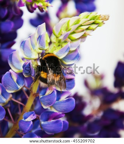 the bumblebee drinks nectar from a lupine flowers - stock photo