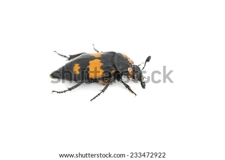 The burying beetle Nicrophorus vespilloides with beneficial mites - stock photo
