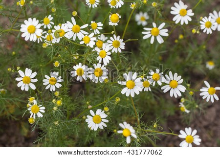 The bush healing chamomile. The shallow depth of field.  - stock photo
