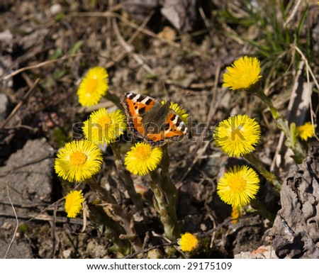 The butterfly on a foalfoot in sunny spring day